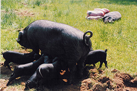 Large Black pig, conservation plan