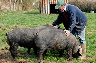 Large Black pigs with keeper