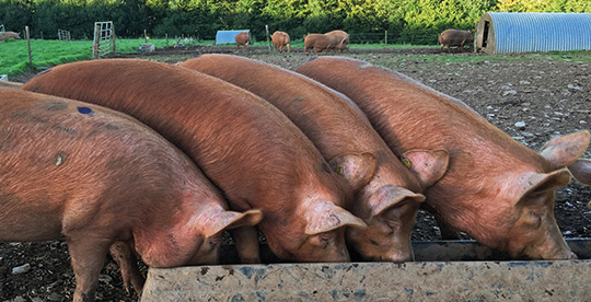 Tamworth pigs at feeding time
