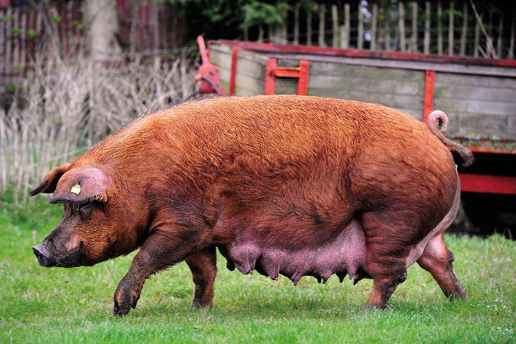 Duroc pedigree pig