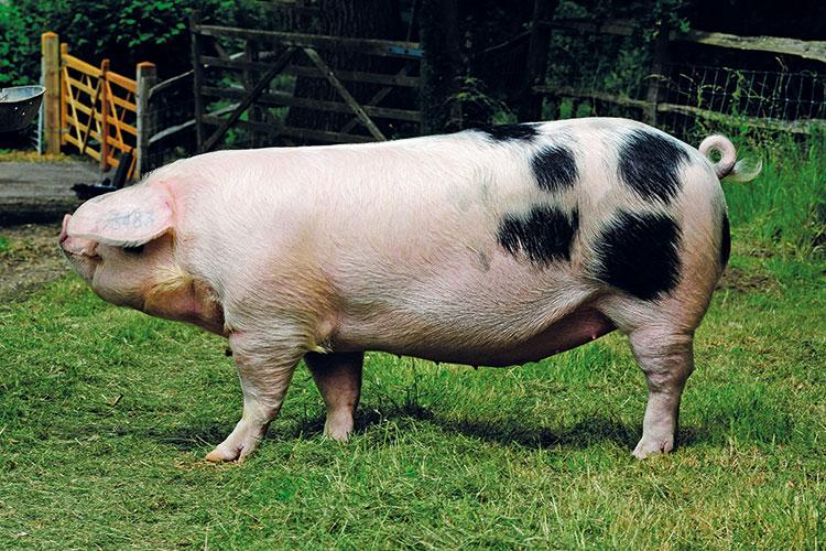 Gloucestershire Old Spots pedigree pig