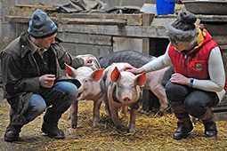 Hampshire pedigree pig