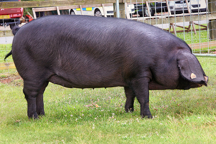 Large black pedigree pig