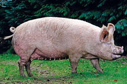 Large White pedigree pig