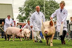 Large White pedigree pig