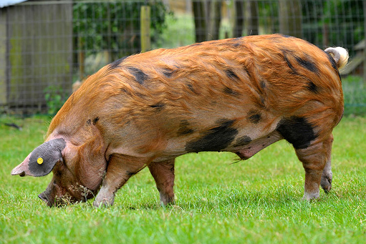 Oxford Sandy and Black pedigree pig