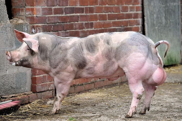 Pietrain pedigree pig