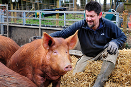 Tamworth pedigree pig
