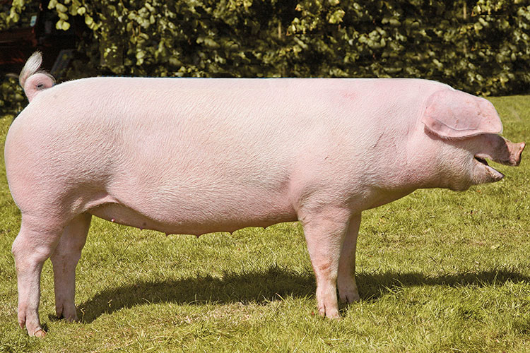 Welsh pedigree pig
