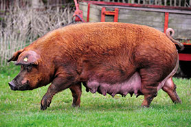 Duroc pedigree pig