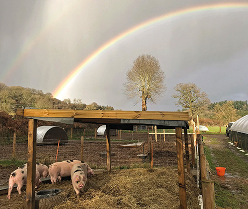 Gloucestershire Old Spots pigs in a field with a rainbow