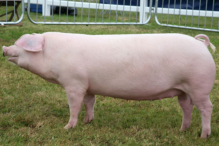 British Landrace pedigree pig