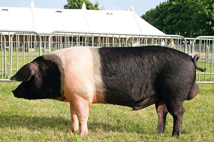 British Saddleback pedigree pig